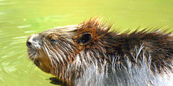 Save the British Beaver!