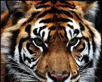 Help Save The World's Tiger Population