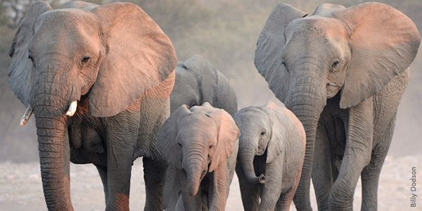 Pledge to Stop the Illegal Ivory Trade