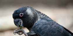 Help save Australia's black cockatoos from extinction