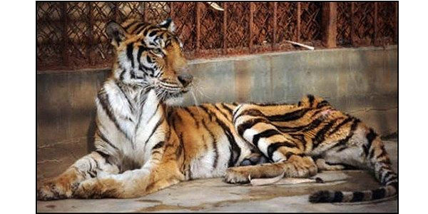 Tell China to Close Tiger Farms