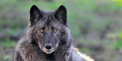 Wyoming, Stop the Gut and Spine Shooting of Wolves