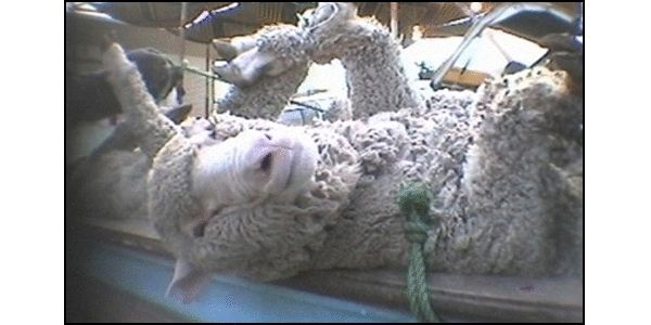 Stop Live Exports for Sacrifice Festival