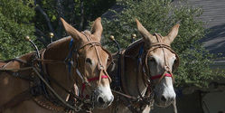 Stop American Museum Of Agriculture From Using The Lubbock Mules