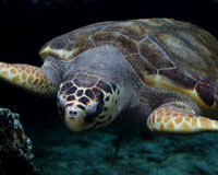 Save The Loggerhead Sea Turtle