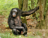 SAVE THE BONOBO APE WHICH IS NEAREST RELATIVE TO HUMAN BEING