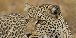 Stop the Illegal Slaughter of Leopards