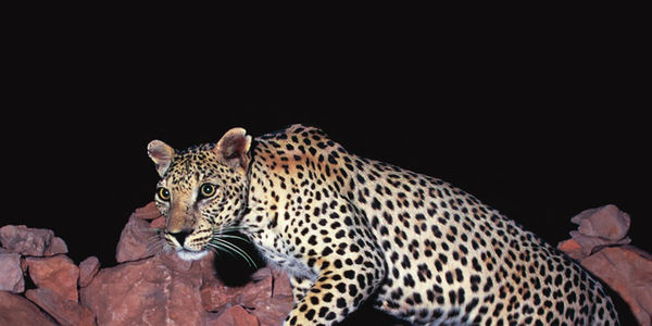Arabian leopards are on the very edge of extinction