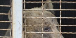 Please Help Rescue Mascha - Brown Bear Held at a Hunting Dog Facility
