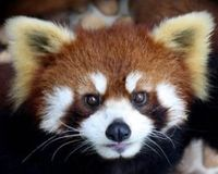 China- Ban Hunting of Red Panda