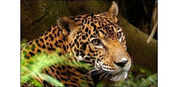 Keep Protections for the Jaguar