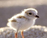 Save Piping Plover Habitat at Whitefish Point