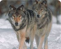 Don't Let Idaho Kill Endangered Wolves