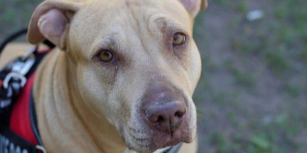 close-up portrait of a pit bull
