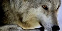 Stop TV Show's Wolf Killing