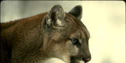 Help Protect Wild Cougars in Illinois