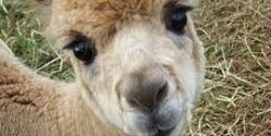 Demand Harsher Punishment for Alpaca Torturer & Murderer!