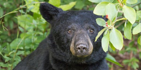 North American bear