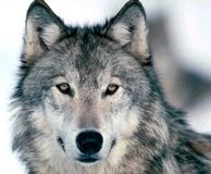Solve the conflict between wolves and ranchers- In Memory of the Wedge Pack Wolves