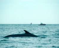 Tell Iceland Not to Resume Fin Whale Hunt