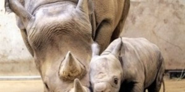Stop the Killing of Rhinos as a way to Save Rhinos! Absurd Practice!!