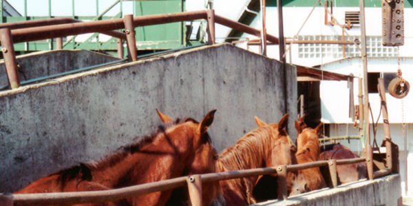 Stop healthy race horse slaughter!