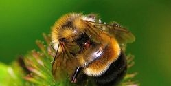 Protect Bumble Bees As An Endangered Species; They Are In Danger Of Extinction