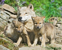 Free Endangered Fox Mountain Mexican Gray Wolf