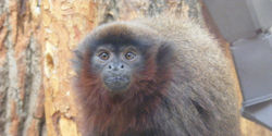 Save the Last 160 Blond Titi Monkeys!