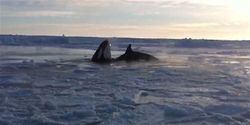 Help free the killer whales trapped by ice in northern Québec