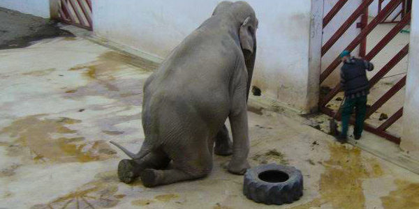 Free Tania the Elephant from Tirgu Mures Zoo in Romania
