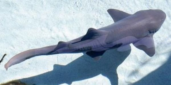Costa Rica - close the loophole that allows legal shark finning!