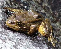 Protect California's Mountain Frogs And Toads