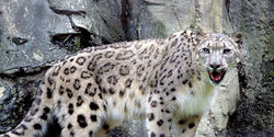 THE SNOW LEOPARD IS UP TO DIE OFF