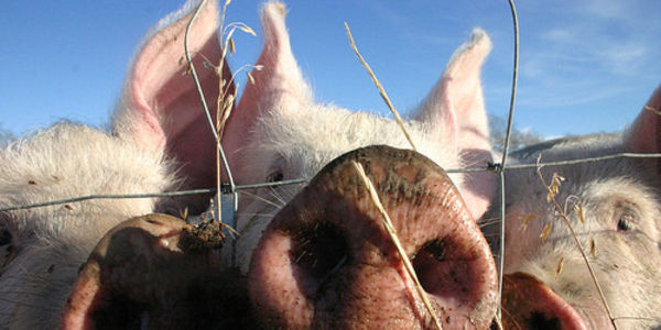 Justice for Pigs Subjected to Needless Cruelty and Hold Wal-Mart Accountable With Consequences
