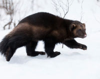 Support Increased Protection for Wolverines
