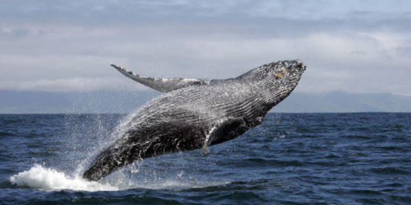 Don't Remove Humpback Whales from Endangered Species List!