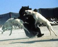 Pétition contre les combats d'ours