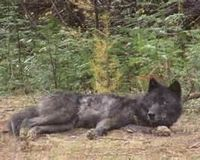 Demand Federal Protection for the wolf OR16