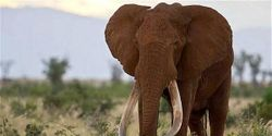 Kenya: Give presidential armed protection to your last 'great tusker' elephants