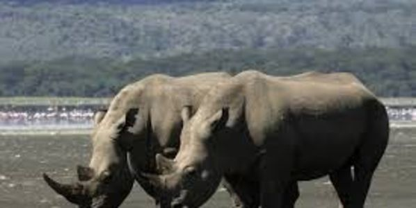 Send Thanks to Kenya Wildlife Service for Shooting Rhino Poacher