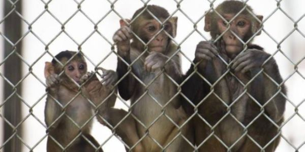 Monkeys behind a fence