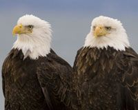 Say No to Weakened Protections for Eagles