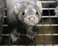 Danish amusement park, TIVOLI GARDENS, supports slaughter of mink. Please sign and share!