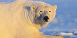 End the killing of Polar Bears for trophies and body parts