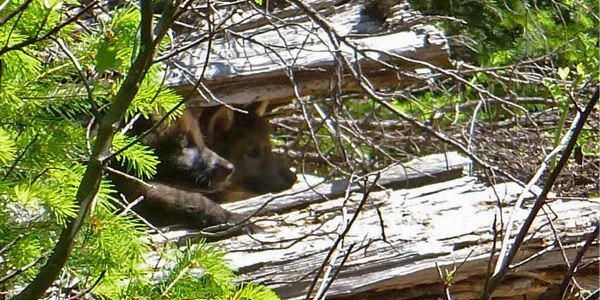 Thank California Fish and Game Commission for Protecting Wolf OR-7's Family