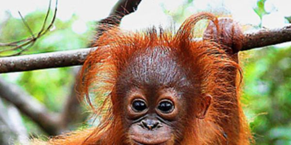 No more Palm Oil, help save Orangutans!