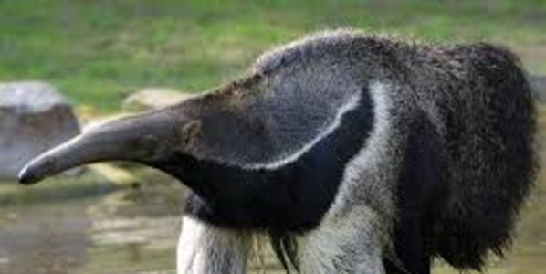 Save the Giant Anteater from Extinction