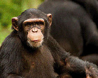 Close a Deadly Loophole, Protect Chimpanzees