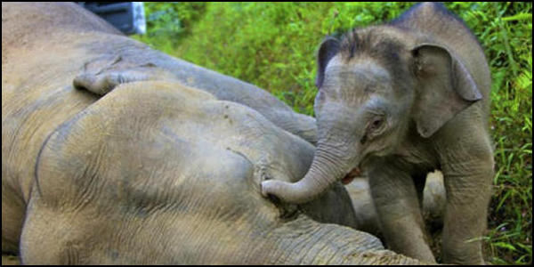 Save Borneo Pygmy Elephants from Extinction